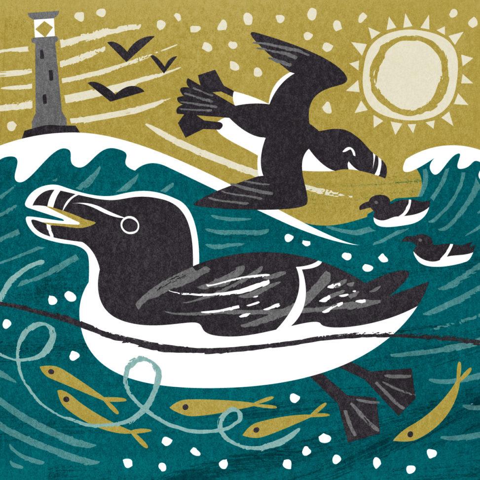Scilly Razorbills - sea bird illustration by Matt Johnson for Seasalt Cornwall
